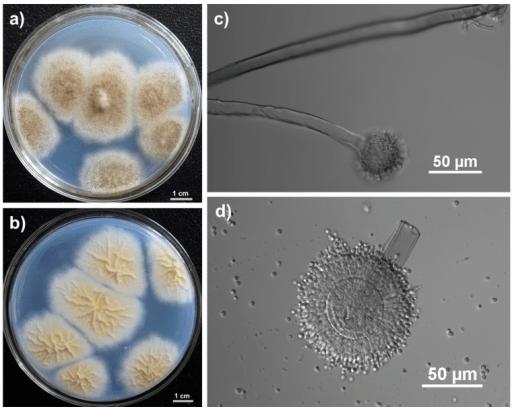 Aspergillus tubigensis